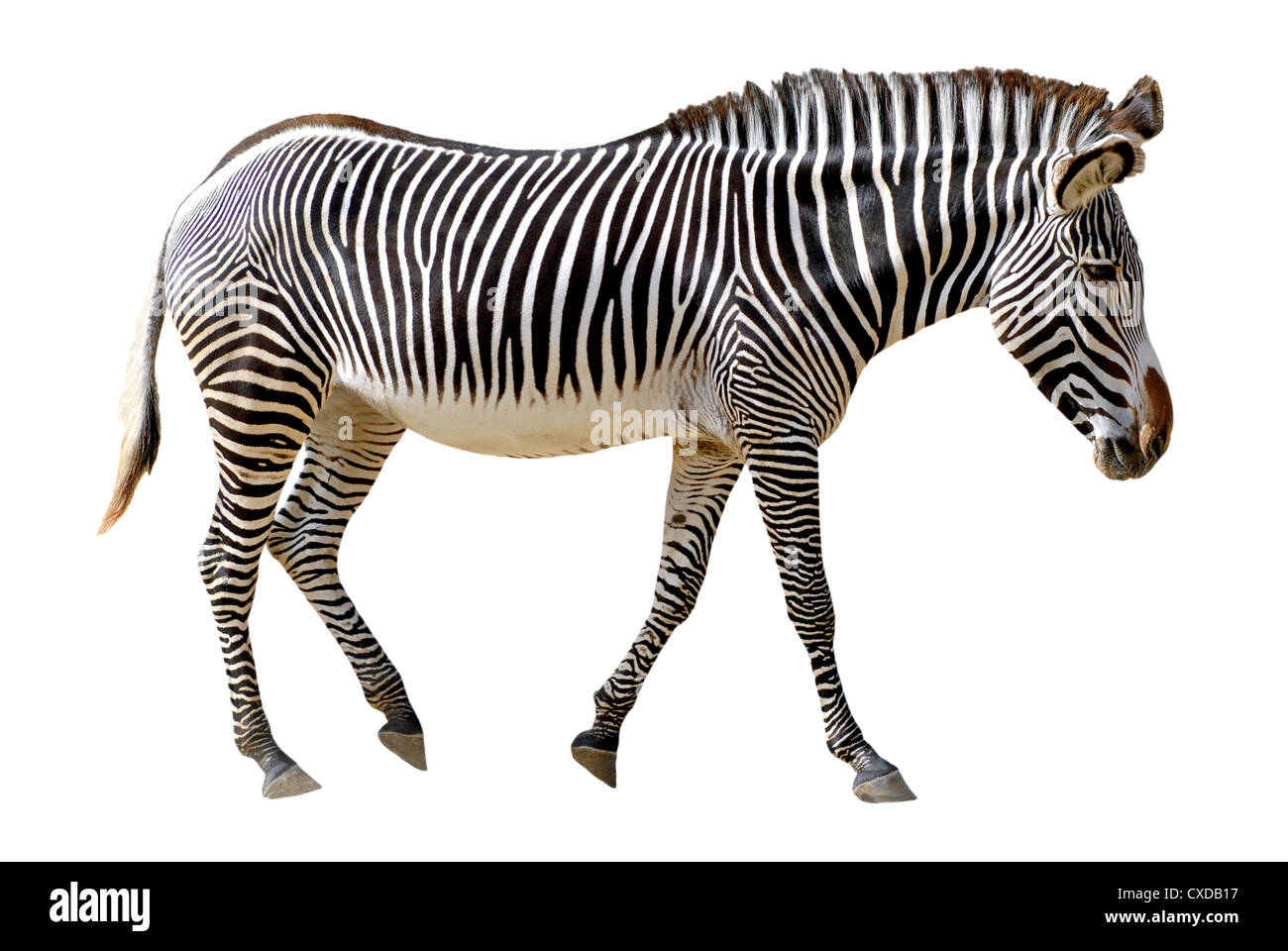 Profile Grevy zebra (Equus grevyi) walking isolated on the white background Stock Photo