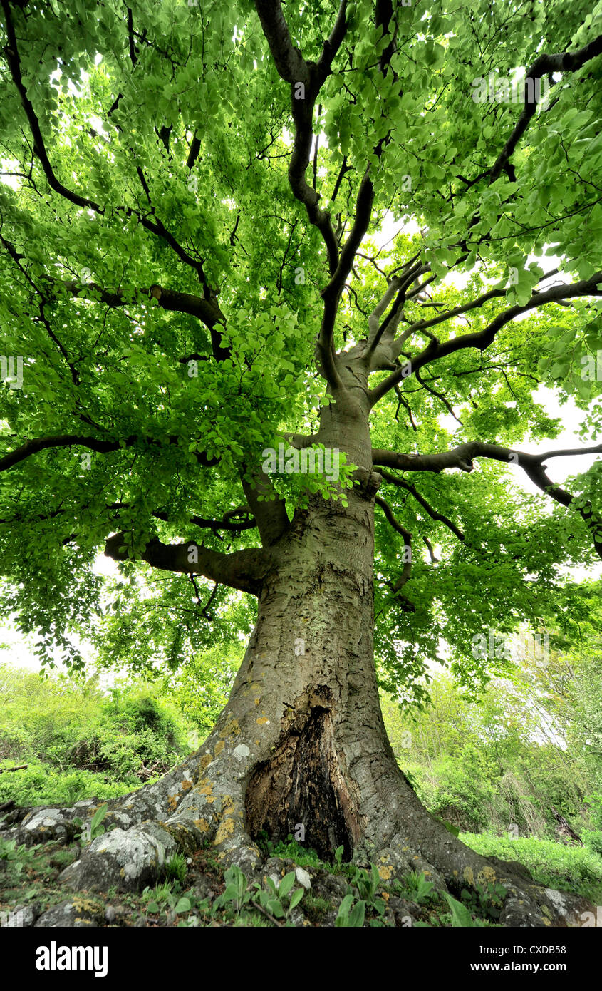 Common Beech Tree, Fagus sylvatica, Queendown Warren, Kent UK - Stock Image