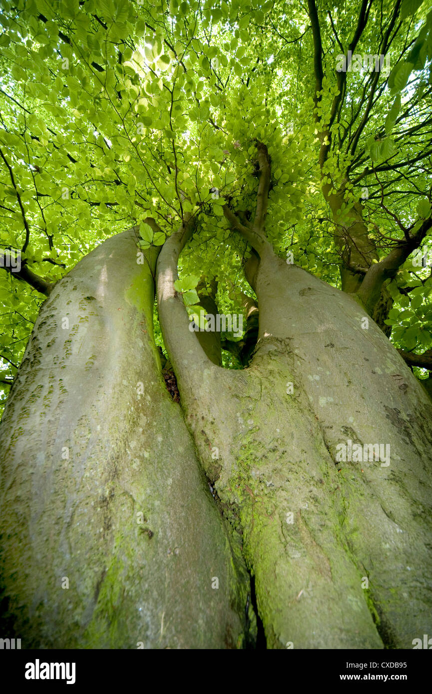 Common Beech Tree, Fagus sylvatica, Yockletts Bank, Kent, UK - Stock Image
