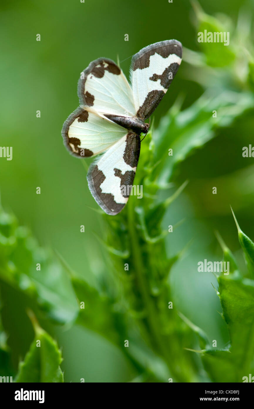 Clouded Border Moth, Lomaspilis marginata, Sandwich Bay, Kent, UK - Stock Image