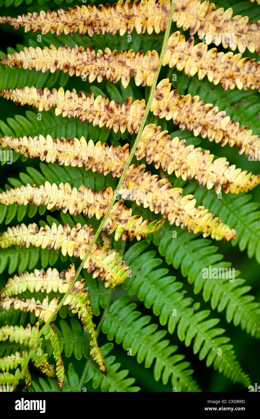 Fern Bracken Leaves, Kent UK - Stock Image