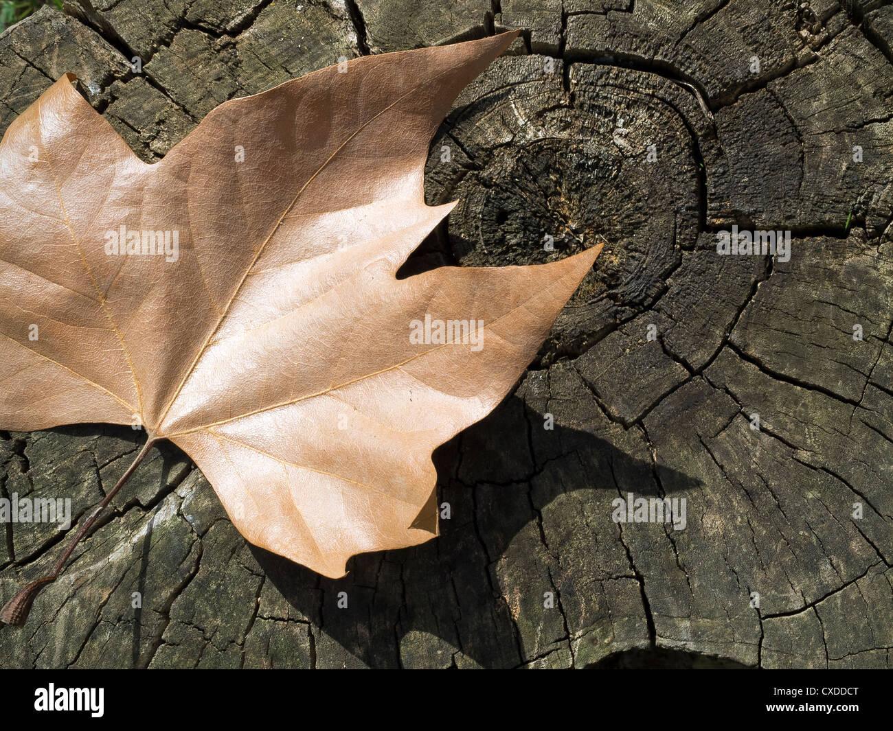 Autumn leaf on stump in Villa Borghese Gardens, Rome, Italy, Europe Stock Photo