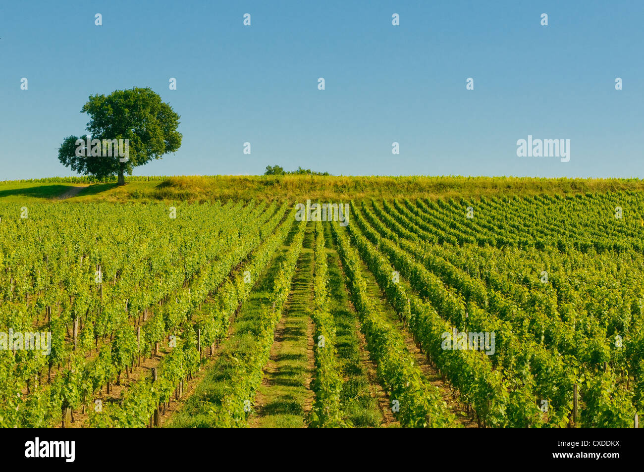 vineyards in bordeaux - Stock Image