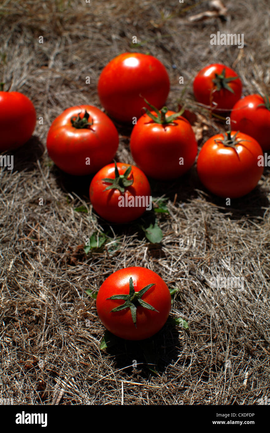 Ripe round red tomatoes. - Stock Image