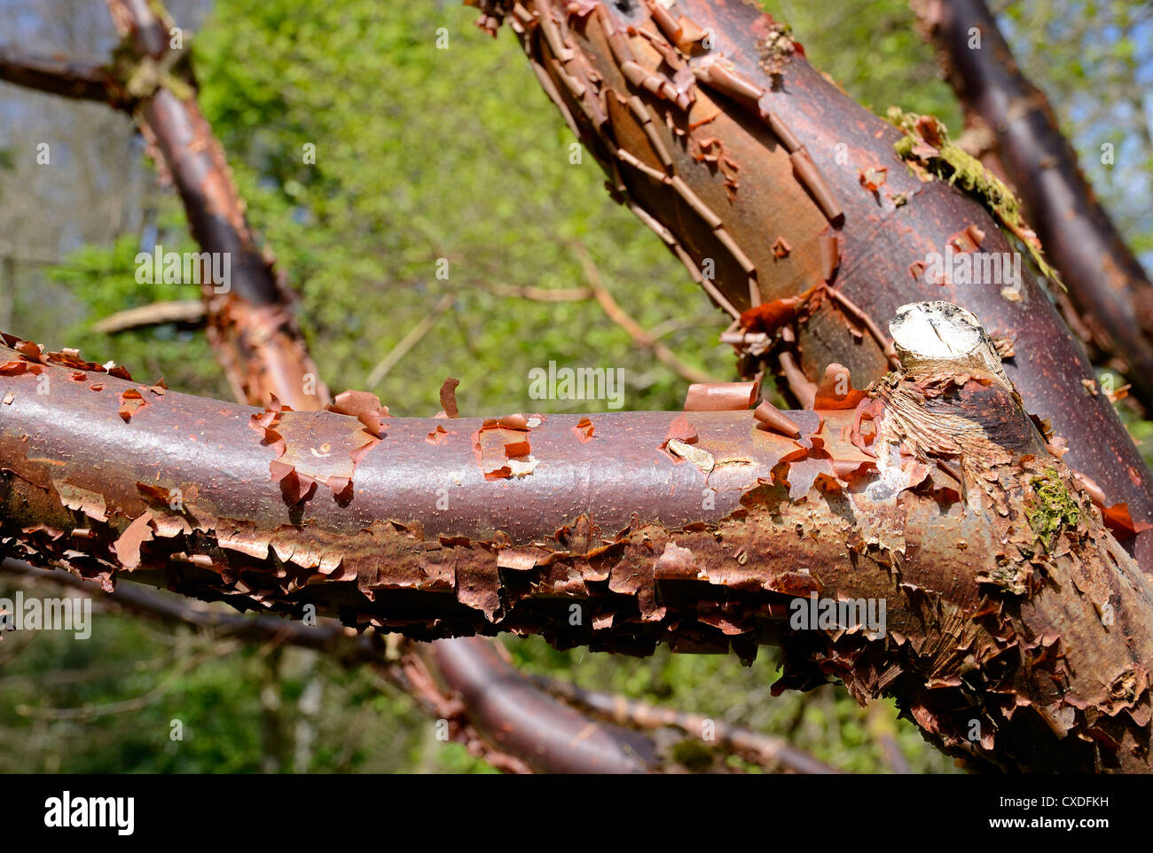 a paper bark maple tree - Stock Image