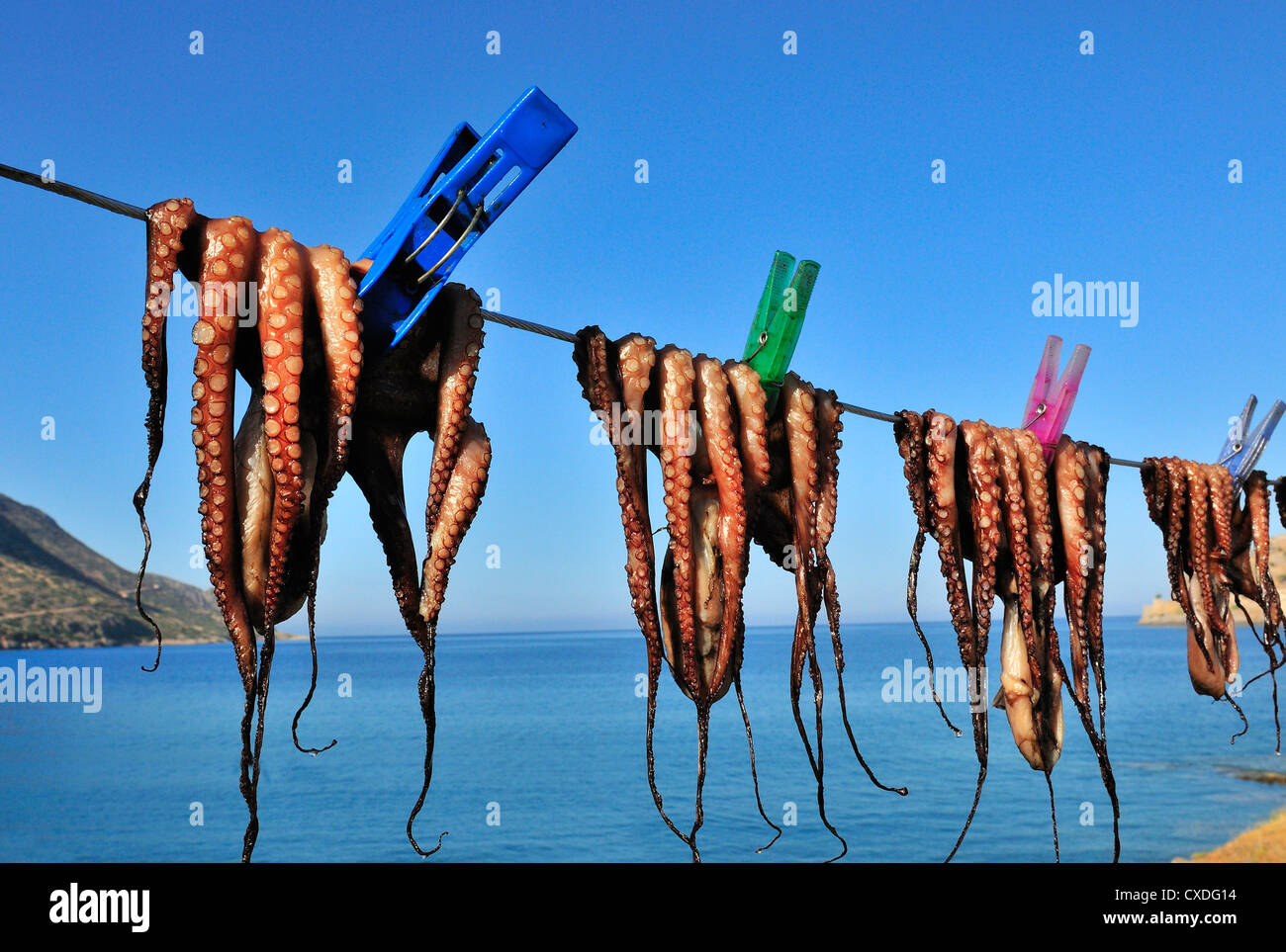 Freshly caught calamari or squid pegged out and drying on a line in the sun  outside a taverna in Plaka Nr Elounda, - Stock Image
