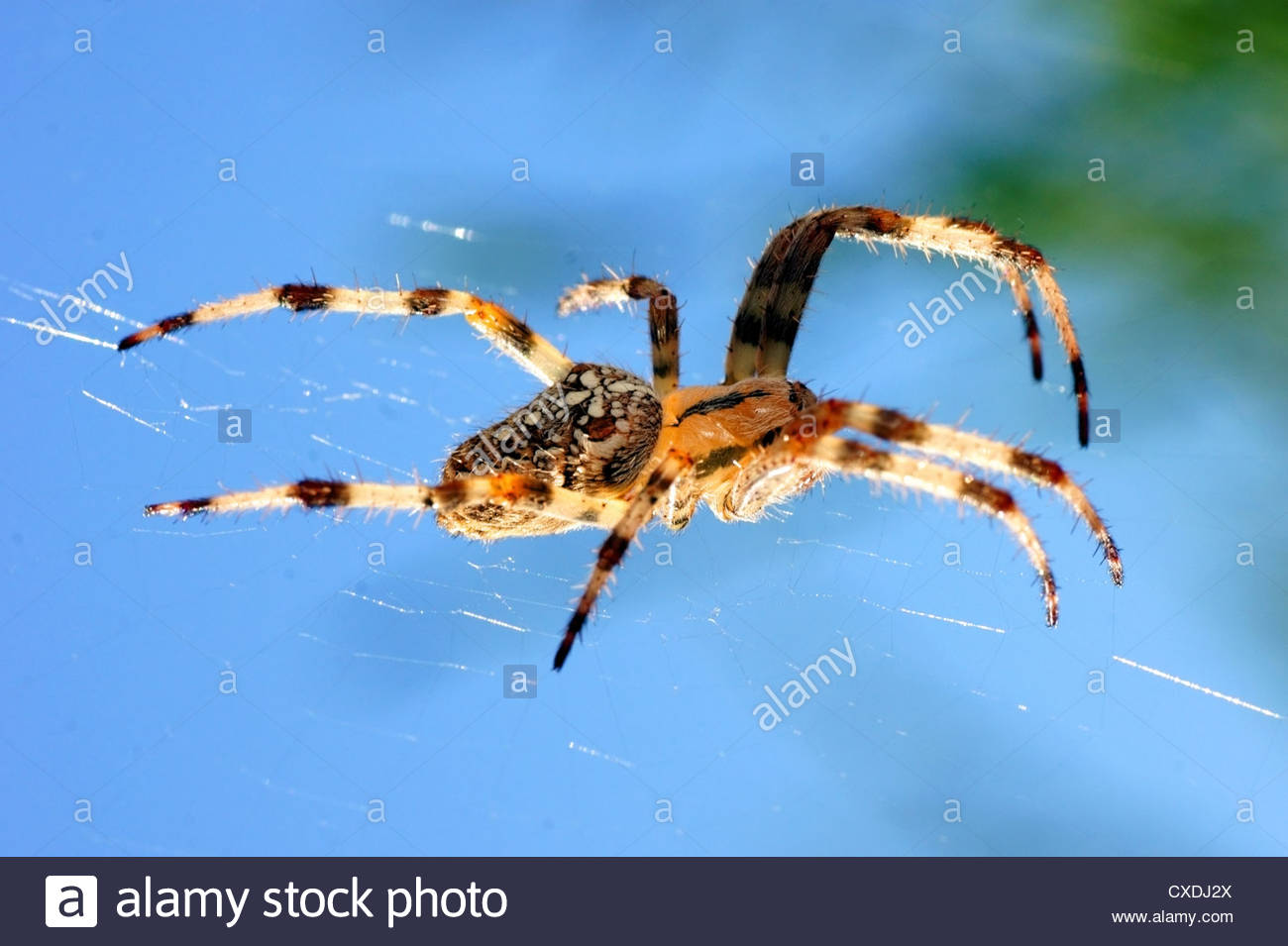 Spider stretching on his cobweb. Araneae order, arthropod, - Stock Image