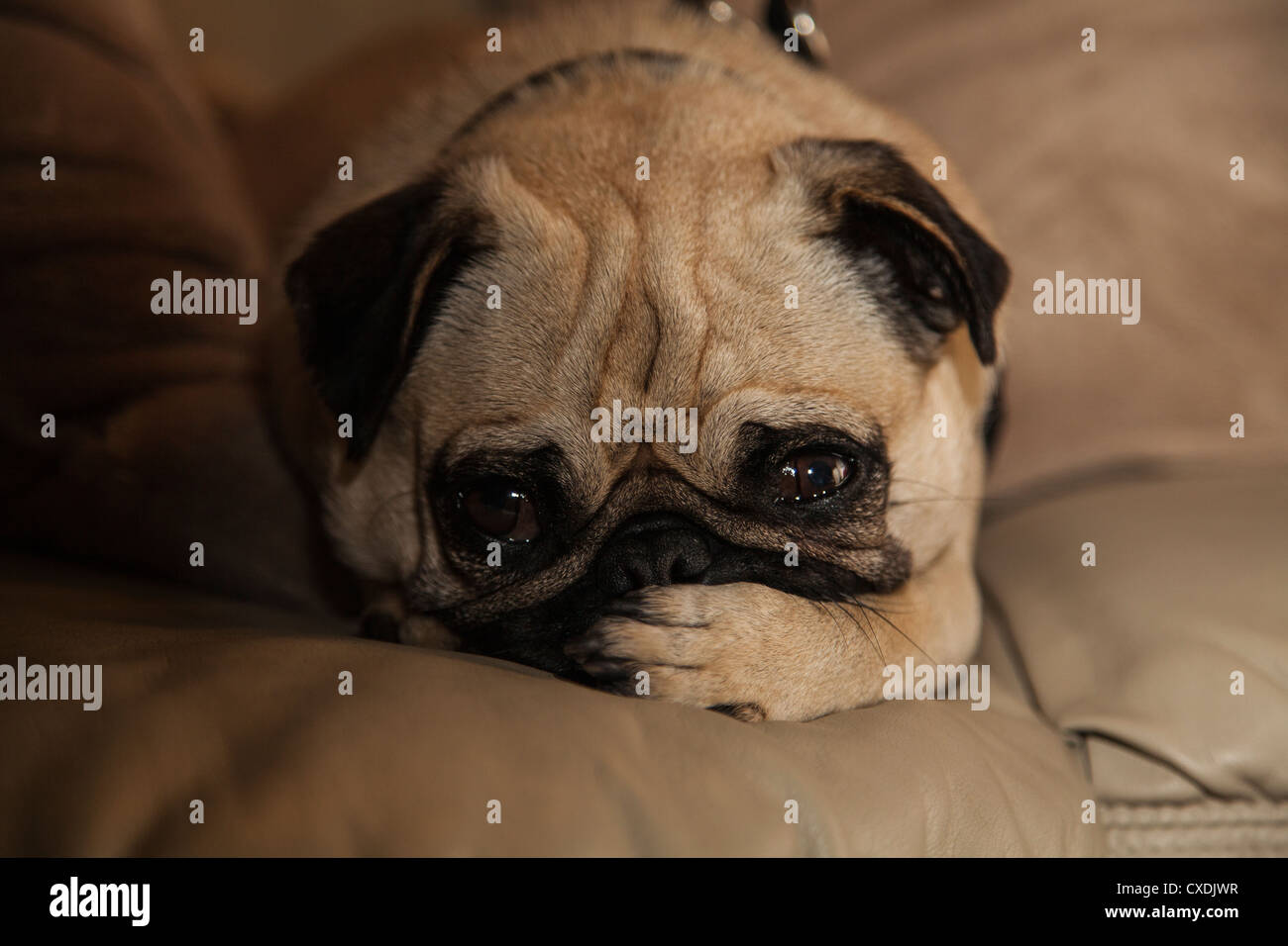 A young Chinese fawn and black pug is laying on a tan leather cushion with it's paw over it's mouth with - Stock Image