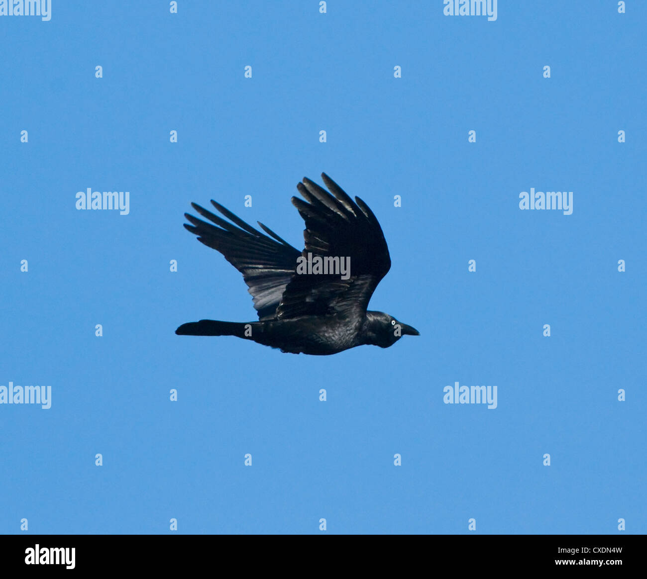Australian Raven (Corvus coronoides) - Stock Image