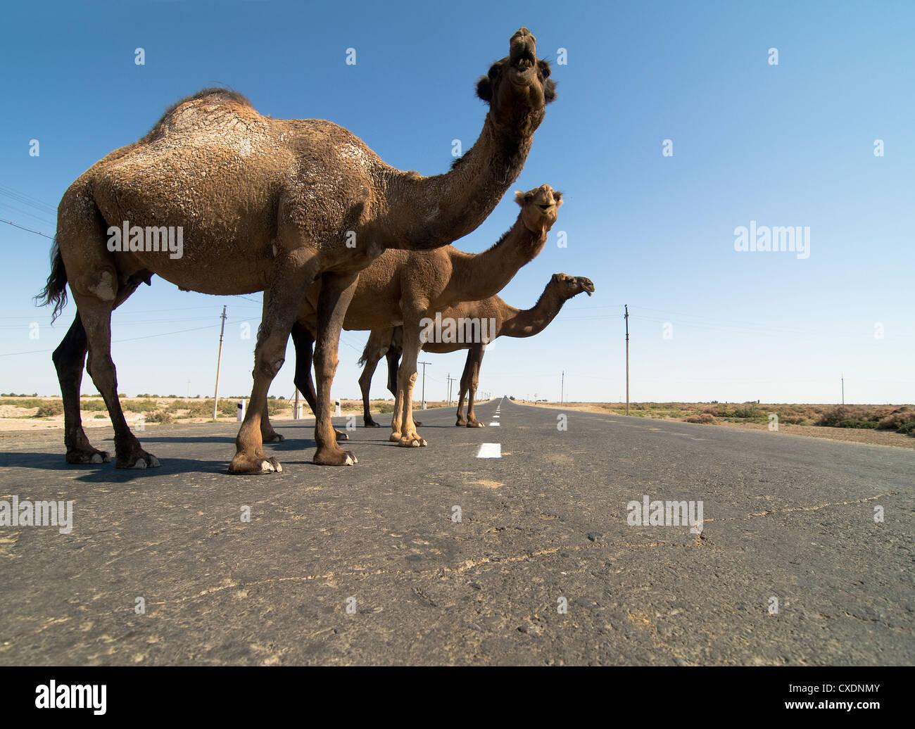 Camels standing on a desert road in Karakalpakstan, Uzbekistan. - Stock Image