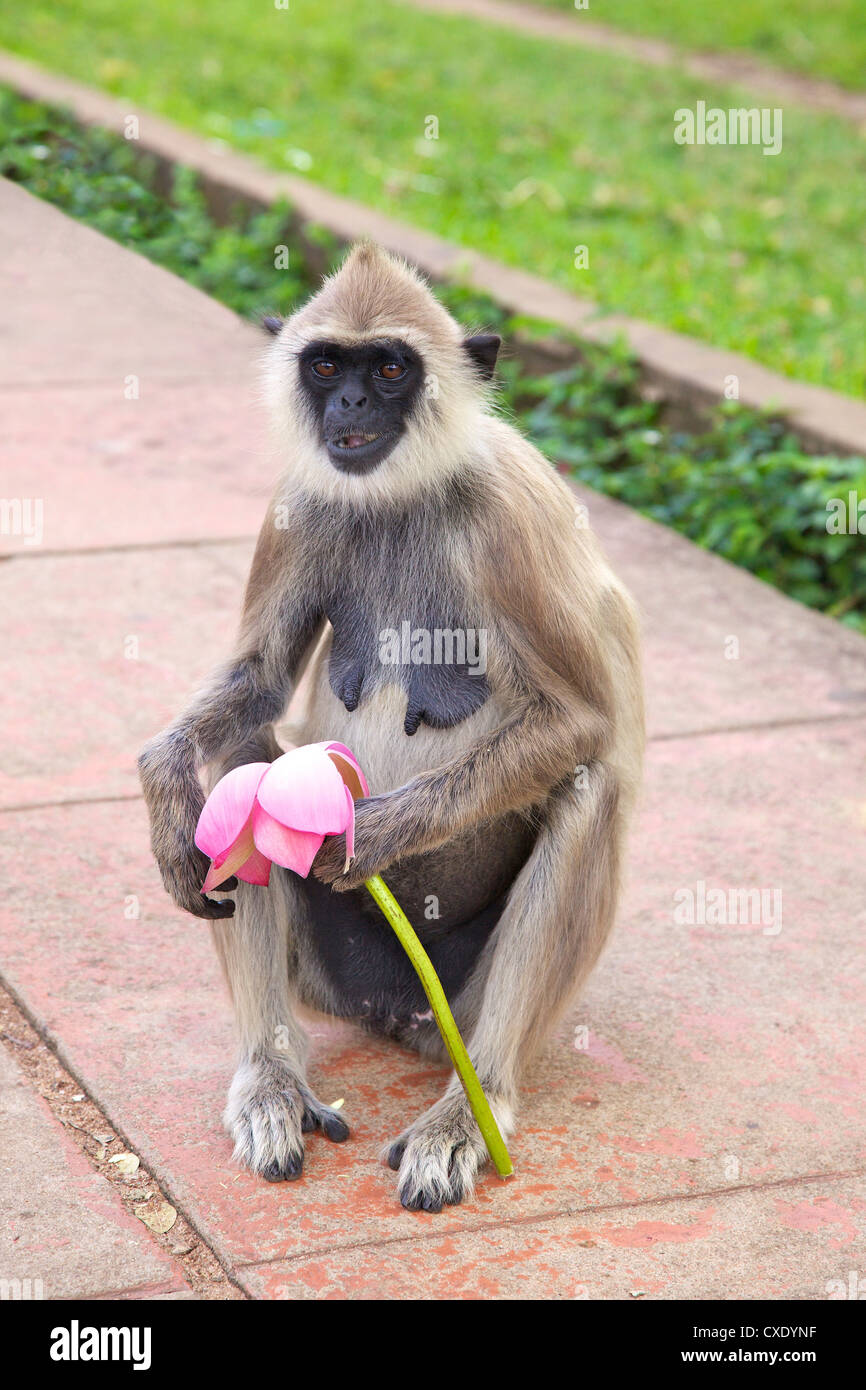 Tufted gray langur eating lotus flower semnopithecus priam stock tufted gray langur eating lotus flower semnopithecus priam anuradhapura sri lanka mightylinksfo Choice Image