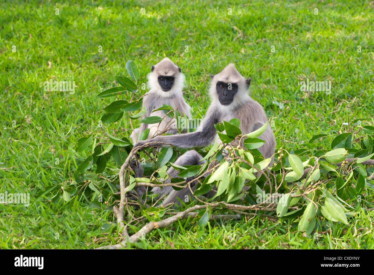 Tufted gray langurs (semnopithecus priam), Anuradhapura, Sri Lanka Stock Photo