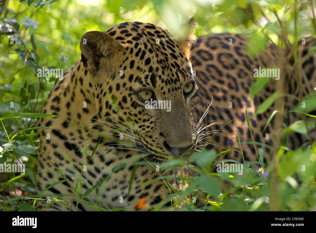 Leopard (panthera pardus) resting in thick undergrowth, Yala National Park, Sri Lanka, Asia Stock Photo