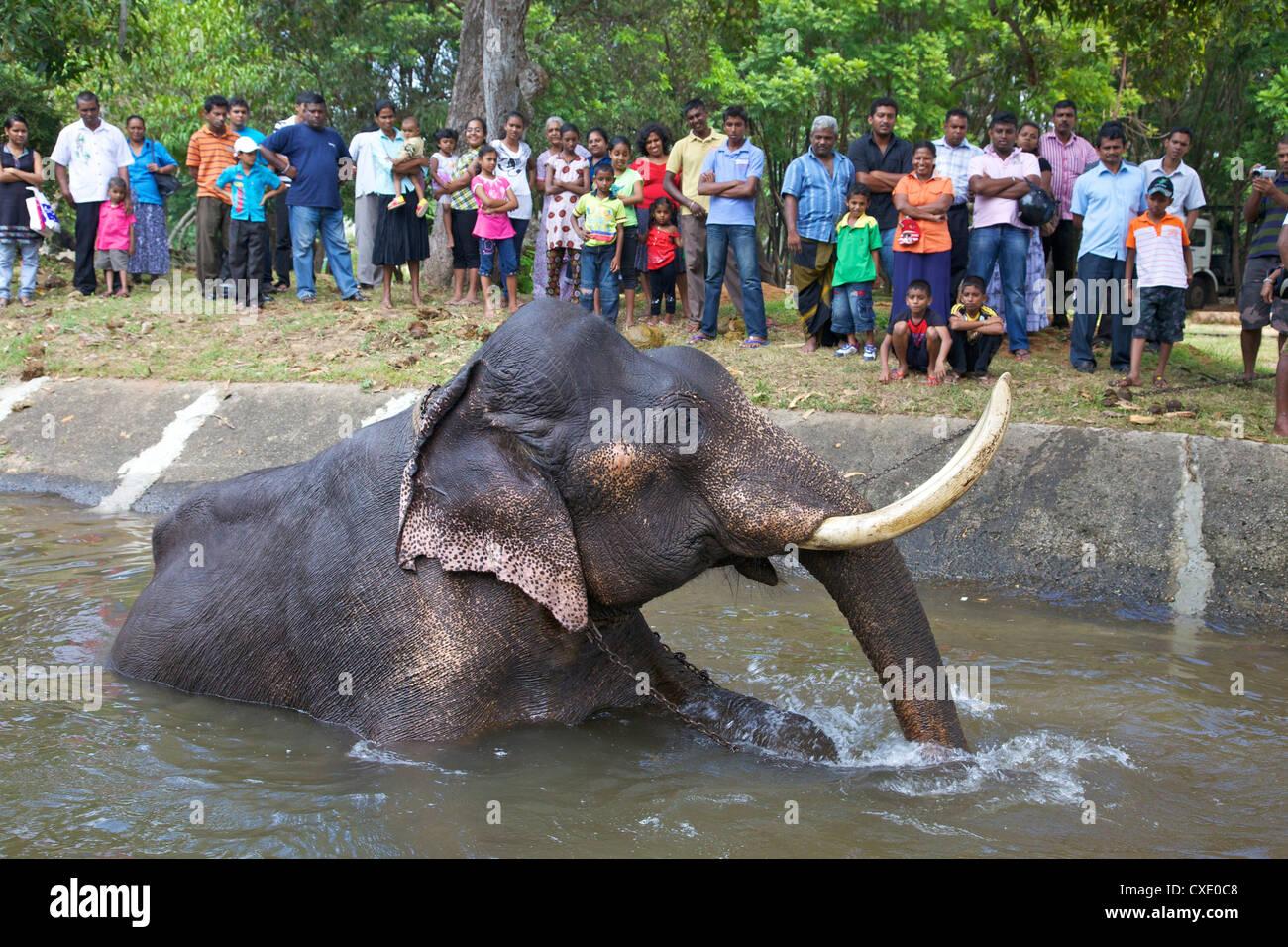 Captive Asiatic elephant (Elephas maximus maximus) in Colombo prior to the Perahera, Victoria Park, Colombo, Sri - Stock Image