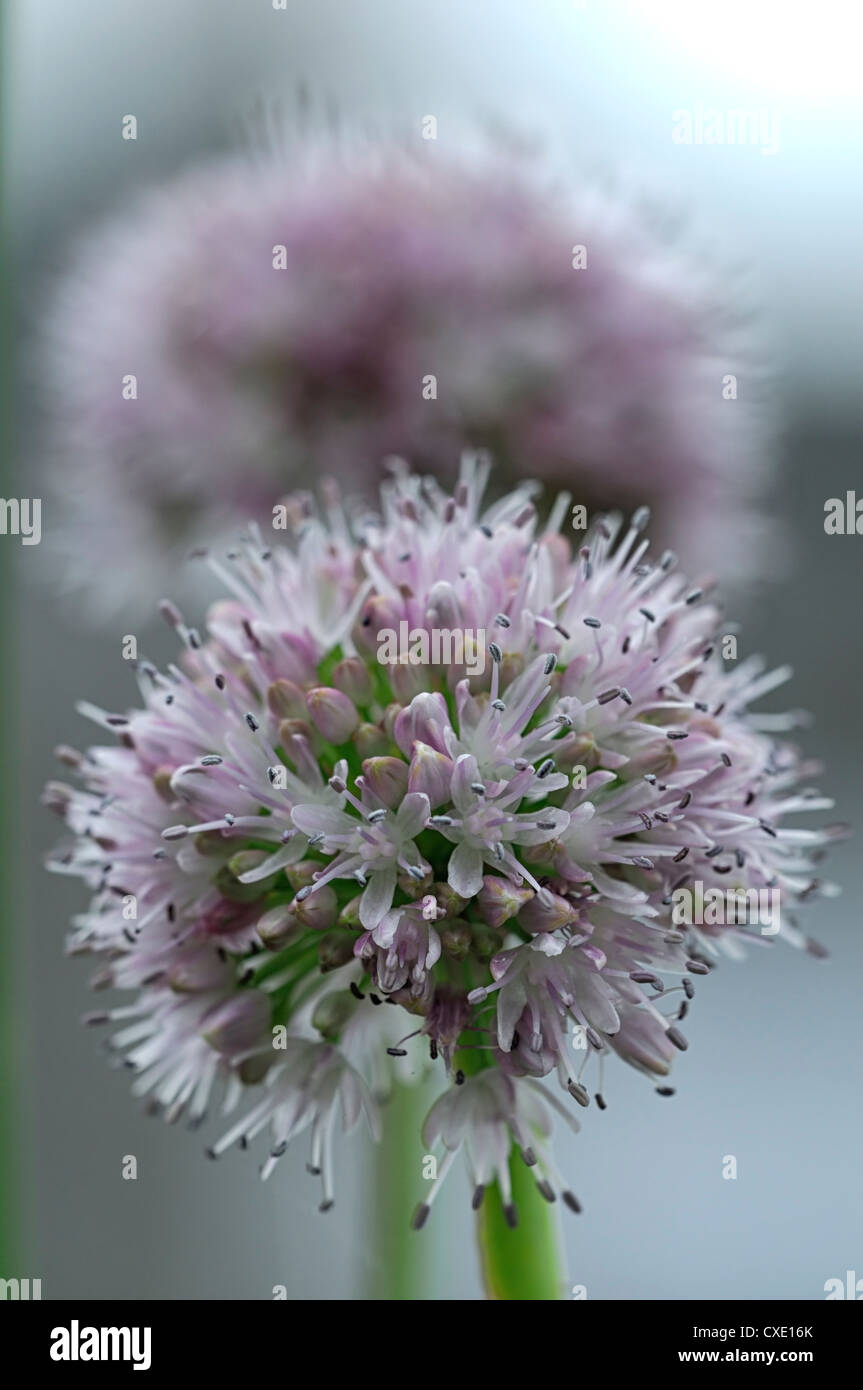 Allium nutans blue chives plant portraits pale pink flowers herbs allium nutans blue chives plant portraits pale pink flowers herbs bulbs edible culinary closeup selective focus umbel flowering mightylinksfo