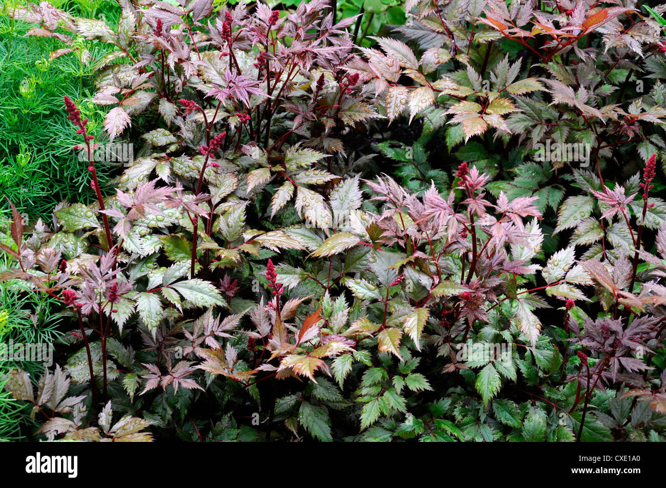 purple flowers feathery plumes perennials attractive leaves foliage - Stock Image