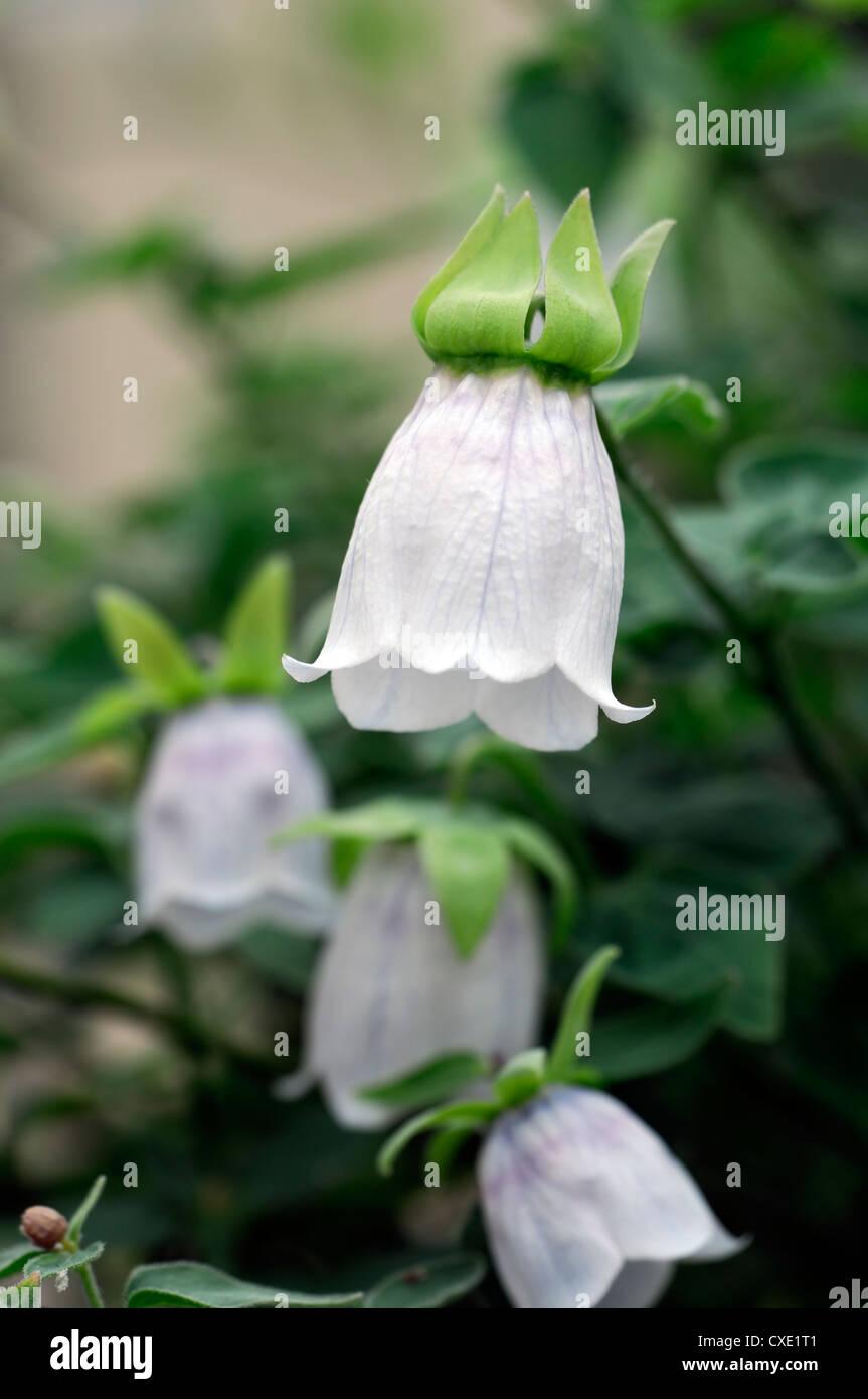 Codonopsis Dicentrifolia Asian Bonnet Bellflower White Bell Shaped