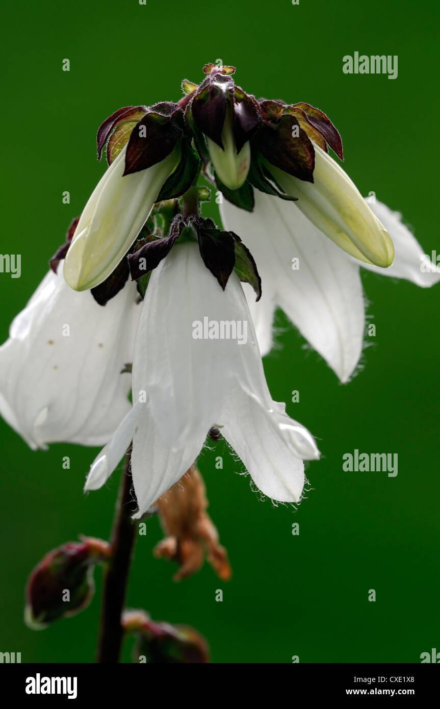 Codonopsis lanceolata bonnet bellflower white flowers edible stock codonopsis lanceolata bonnet bellflower white flowers edible mightylinksfo
