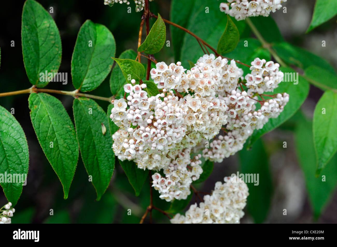 White Flowering Bushes Stock Photos White Flowering Bushes Stock