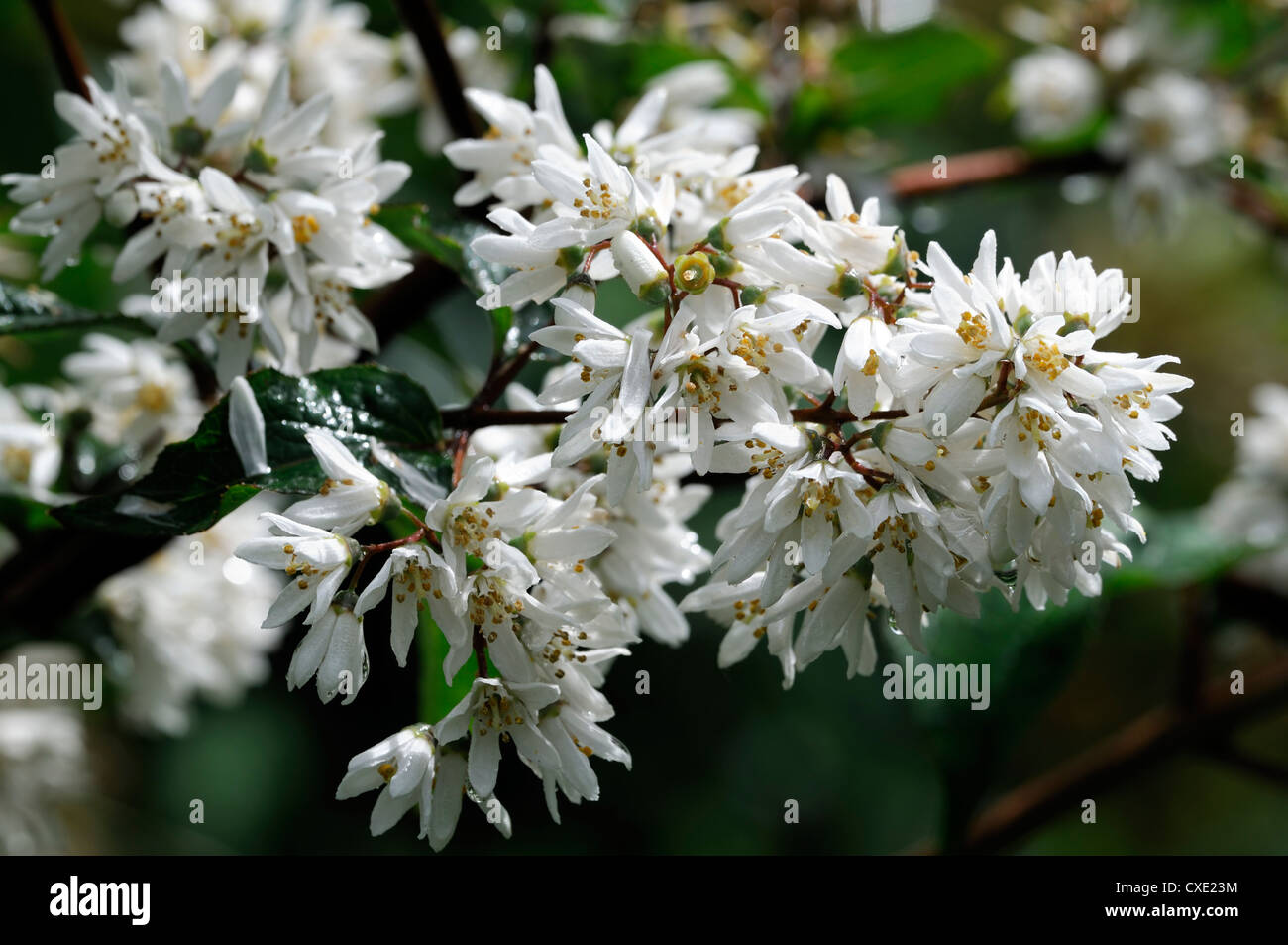 White Flowering Shrubs Stock Photos White Flowering Shrubs Stock