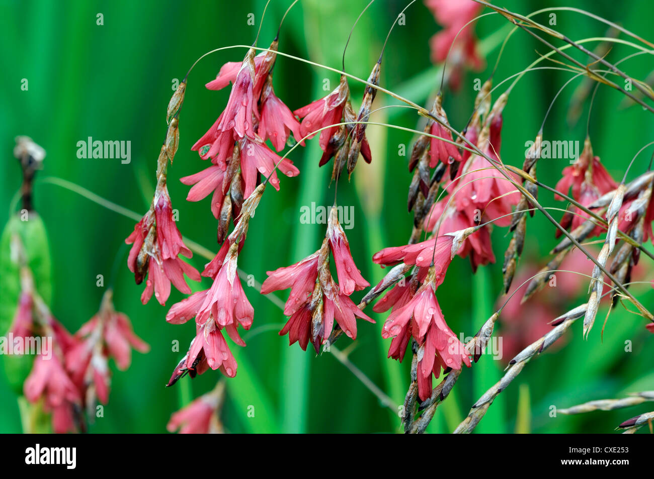 Dierama Igneum Pink Coral Flowers Perennials Arching Dangling