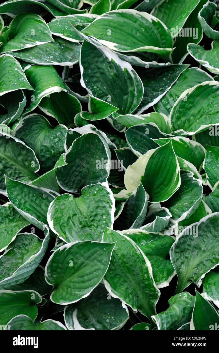 Hosta Bright Lights Variegated Foliage Leaves Green White Edges