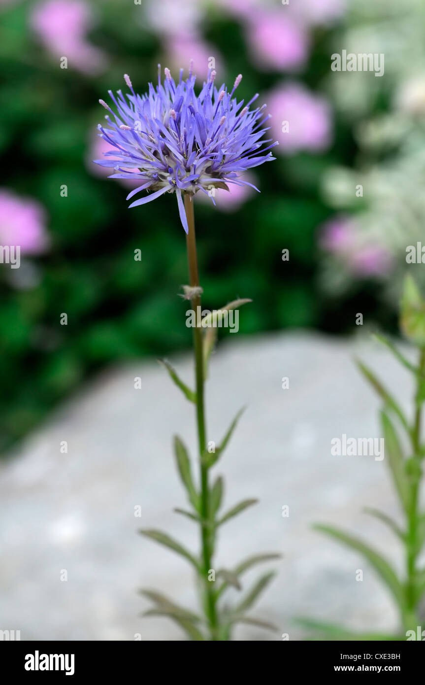 jasione heldreichii Sheeps bit pale blue flower bloom blossom perennial small rounded flowerhead - Stock Image