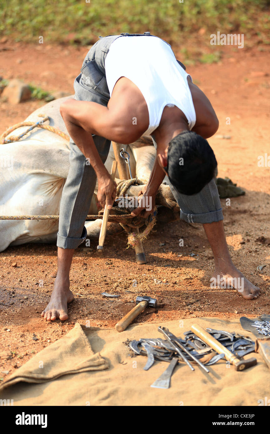 Farrier trimming an Indian zebu hooves Andhra Pradesh South India - Stock Image