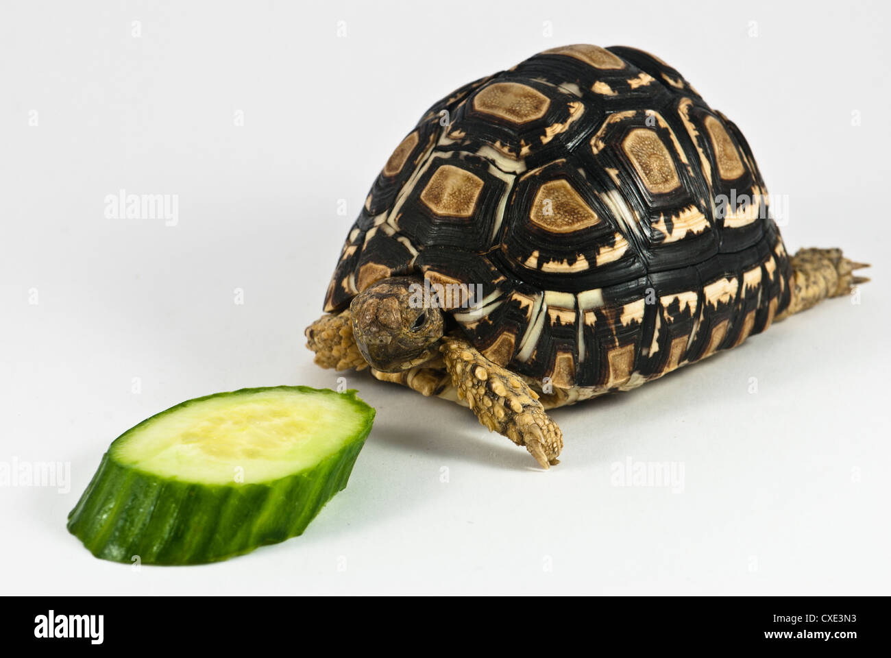 Leopard Tortoise (Geochelone pardalis) isolated on white background is eating cucumber - Stock Image