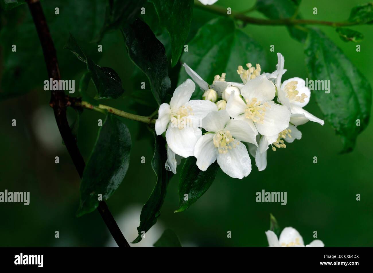 White flowering philadelphus mock orange flowers fragrant stock philadelphus lewisii white flower flowers flowering deciduous shrubs scented fragrant closeup mock orange stock image mightylinksfo