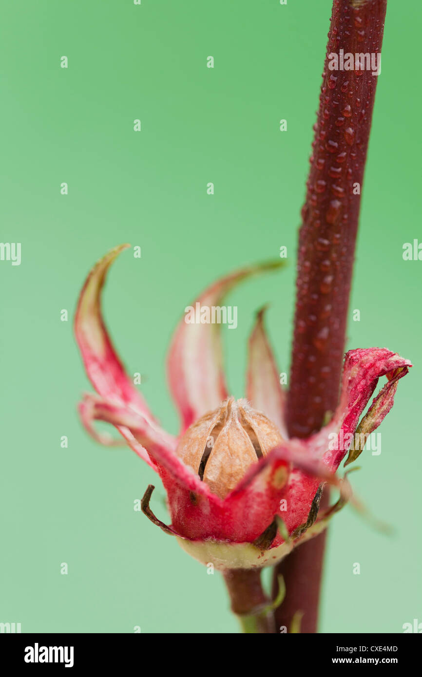 Flower bud blossoming - Stock Image