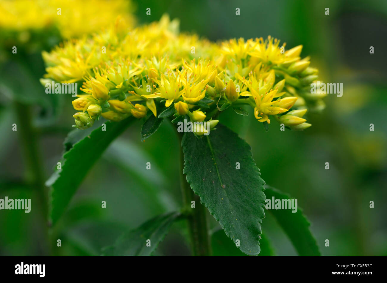 Rhodiola Kirilowii Yellow Flower Flowers Flowerhead Tibetan Sacred