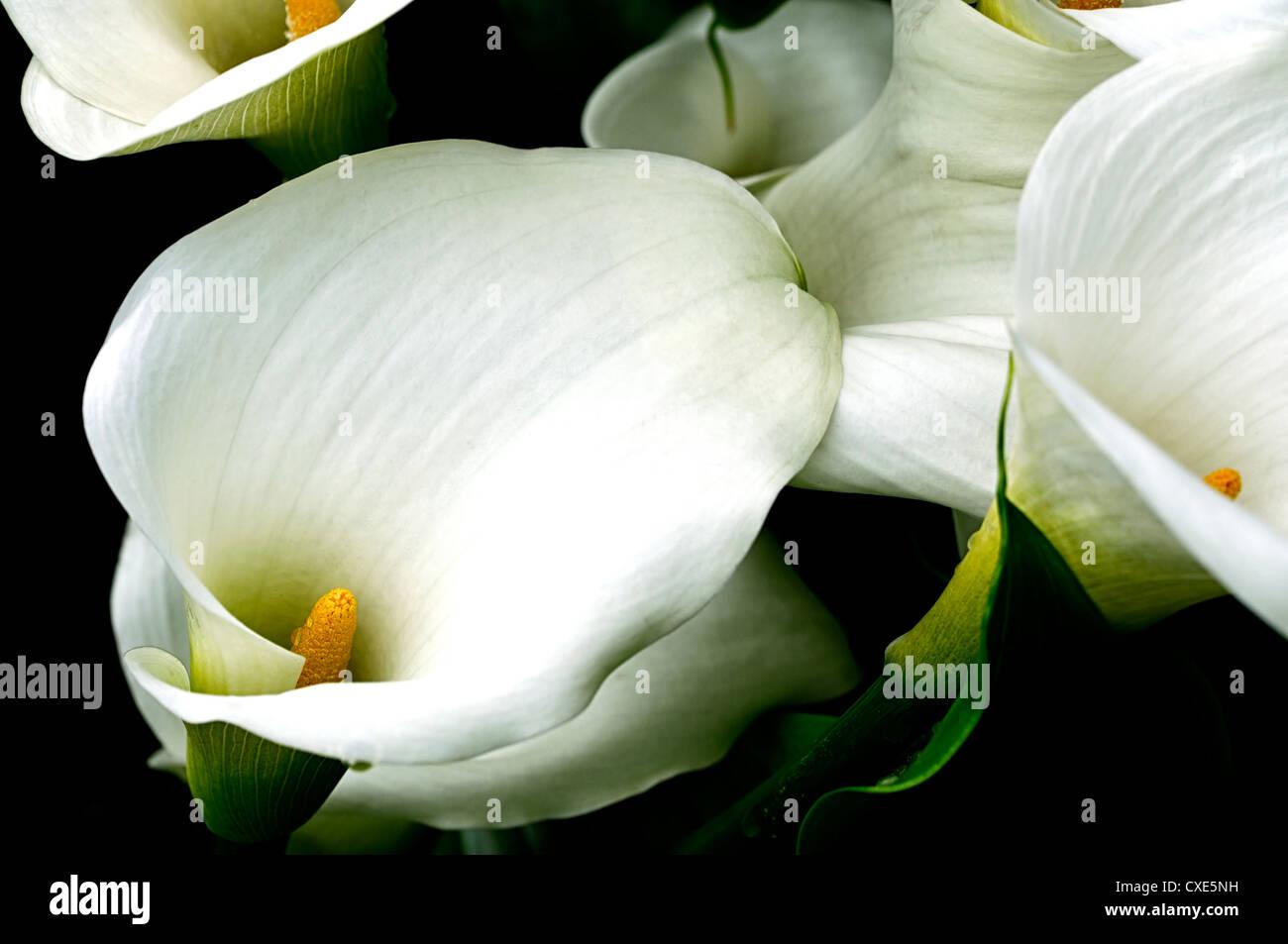 zantedeschia aethiopica crowborough arum calla lily lilies closeup white flowers petals spathes bog plants perennials Stock Photo