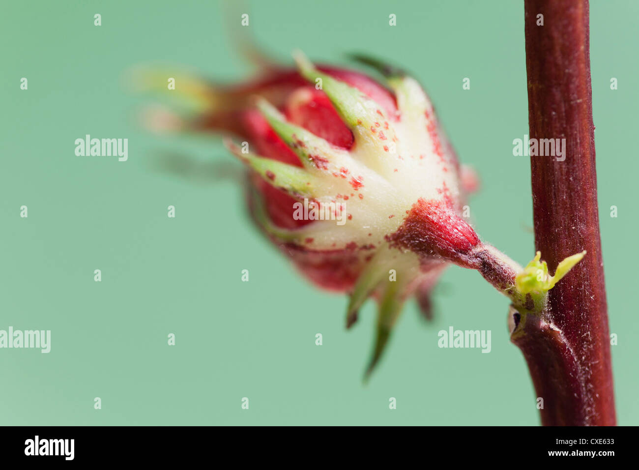 Flower bud - Stock Image