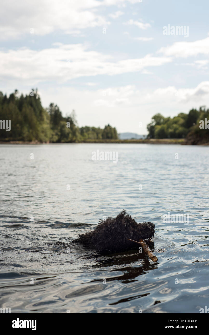 A dog swinning in a lake with wood in his mouth - Stock Image