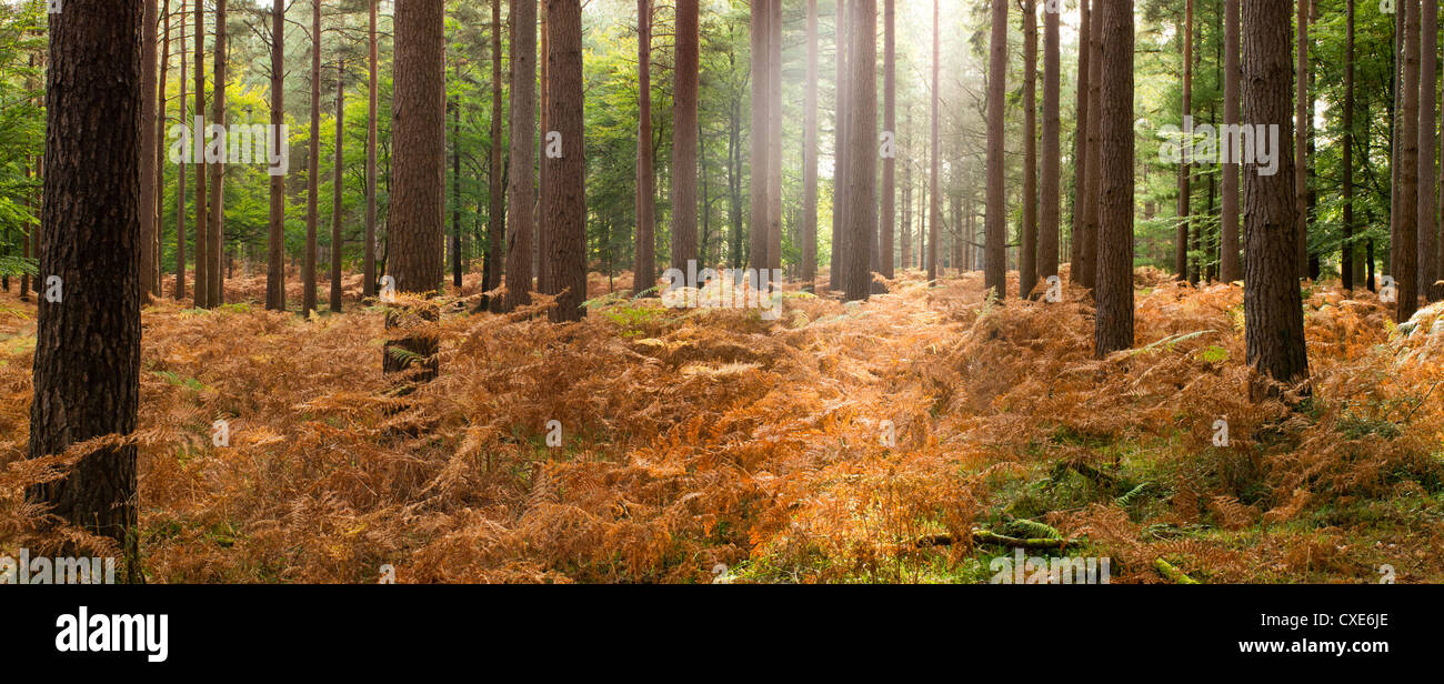 Beams of sunlight, Interior of Pine Forest, New Forest, Hampshire, England, UK - Stock Image