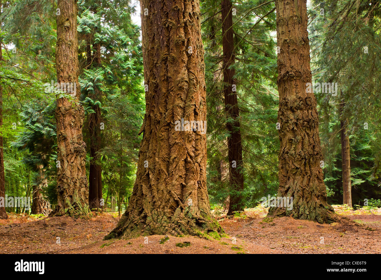 Interior of Pine Forest, New Forest, Hampshire, England, UK Stock Photo