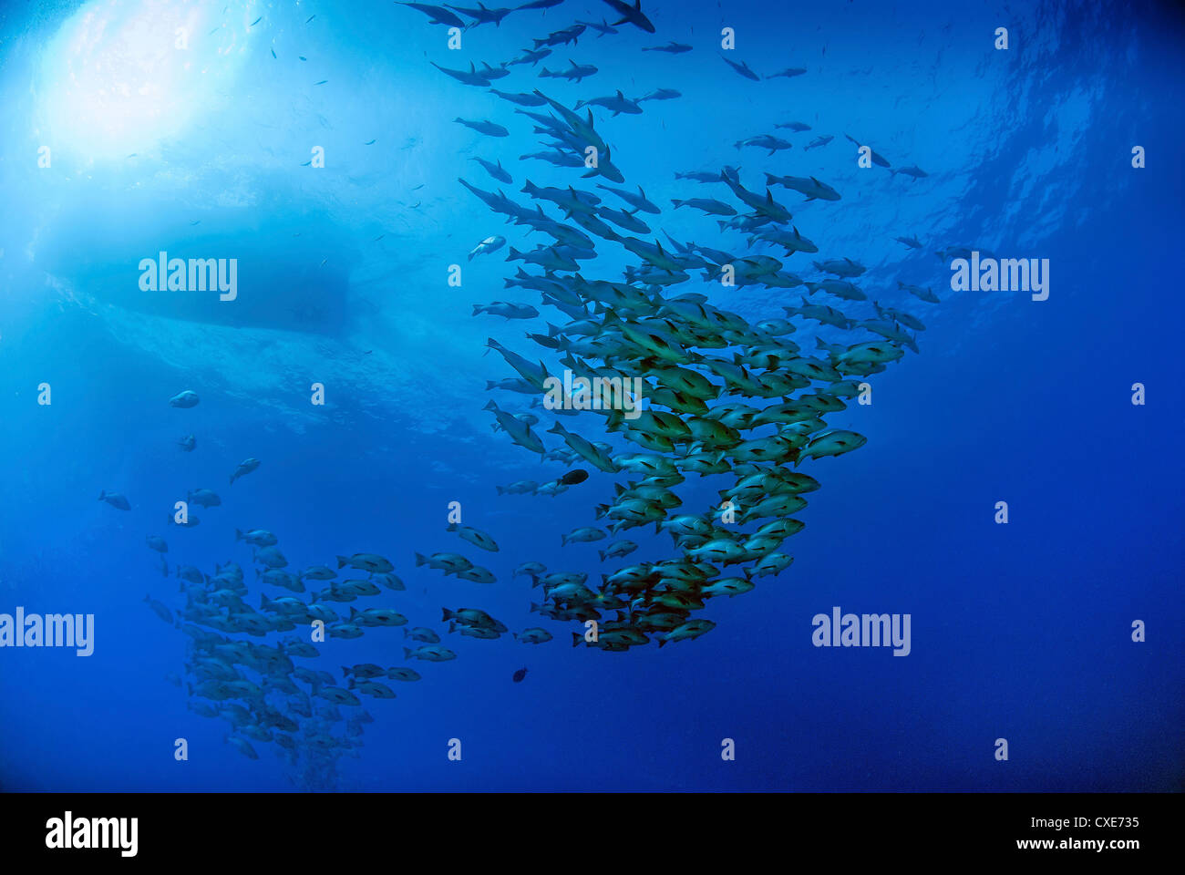 Scuba diver and schooling fish, Ras Mohammed, Egypt - Stock Image