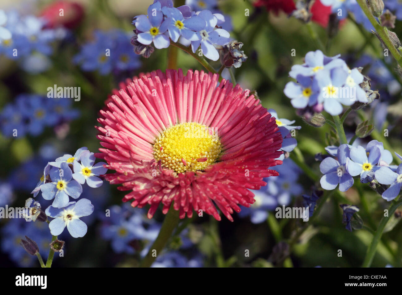 Leipzig, a red blossom in the midst of Myosotis - Stock Image