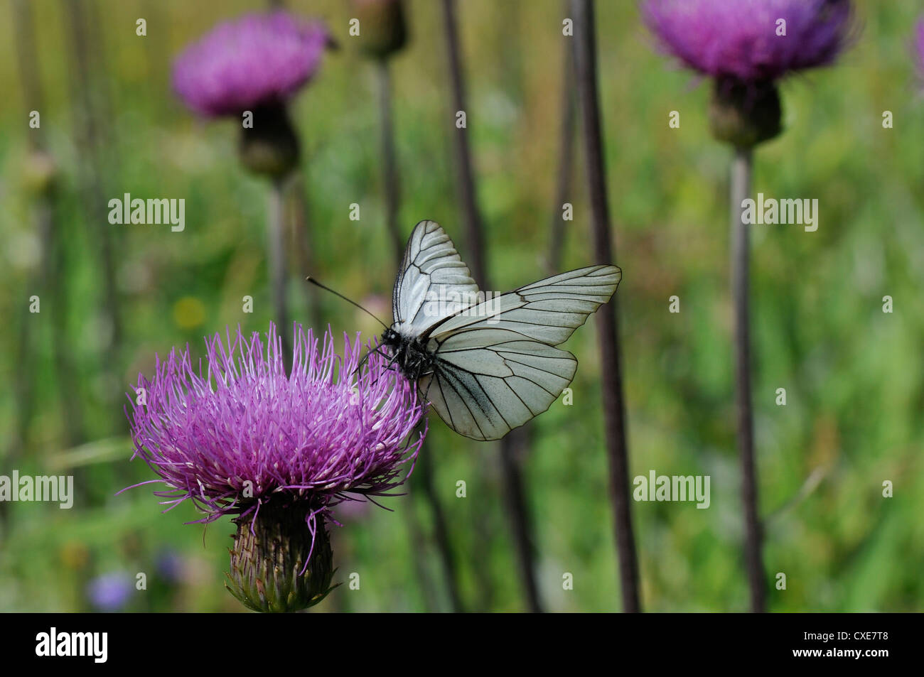 Black veined white butterfly feeding from Pannonic thistle (Cirsium pannonicum), Julian Alps, slovenia, slovenianan - Stock Image