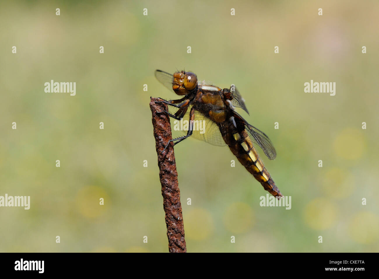 Broad-bodied chaser dragonfly (Libellula depressa) female, hunting from rusted metal fence post, Lesbos, Greece - Stock Image