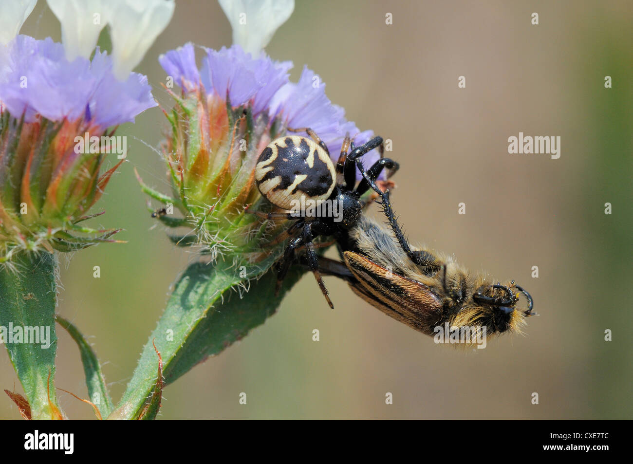 Crab spider (Synema globosum) with bumblebee, bumble bee, bee scarab beetle (Eulasia vittata) prey, Lesbos, Greece - Stock Image