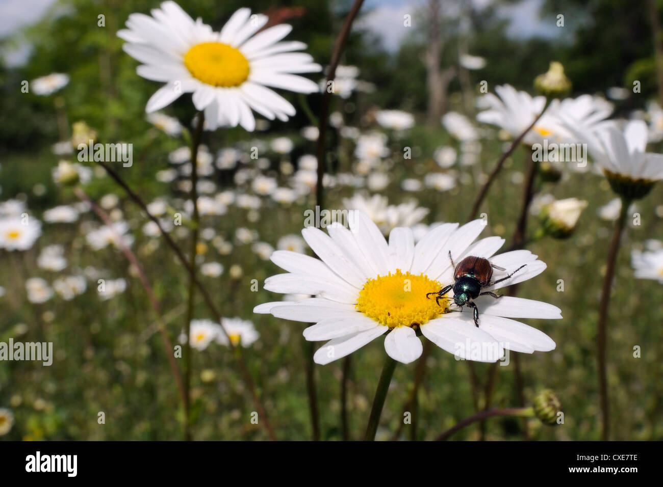 Garden chafer (Phyllopertha horticola) on Ox eye or Marguerite daisy (Leucanthemum vulgare) in meadow, Wiltshire, - Stock Image