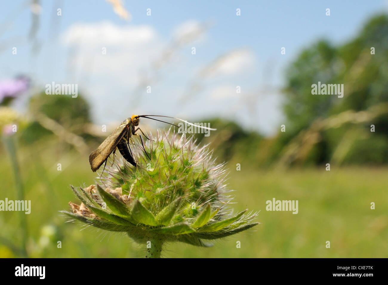 Female longhorn moth (Nemophora metallica), laying eggs in field scabious (Knautia arvensis) seedhead, UK - Stock Image