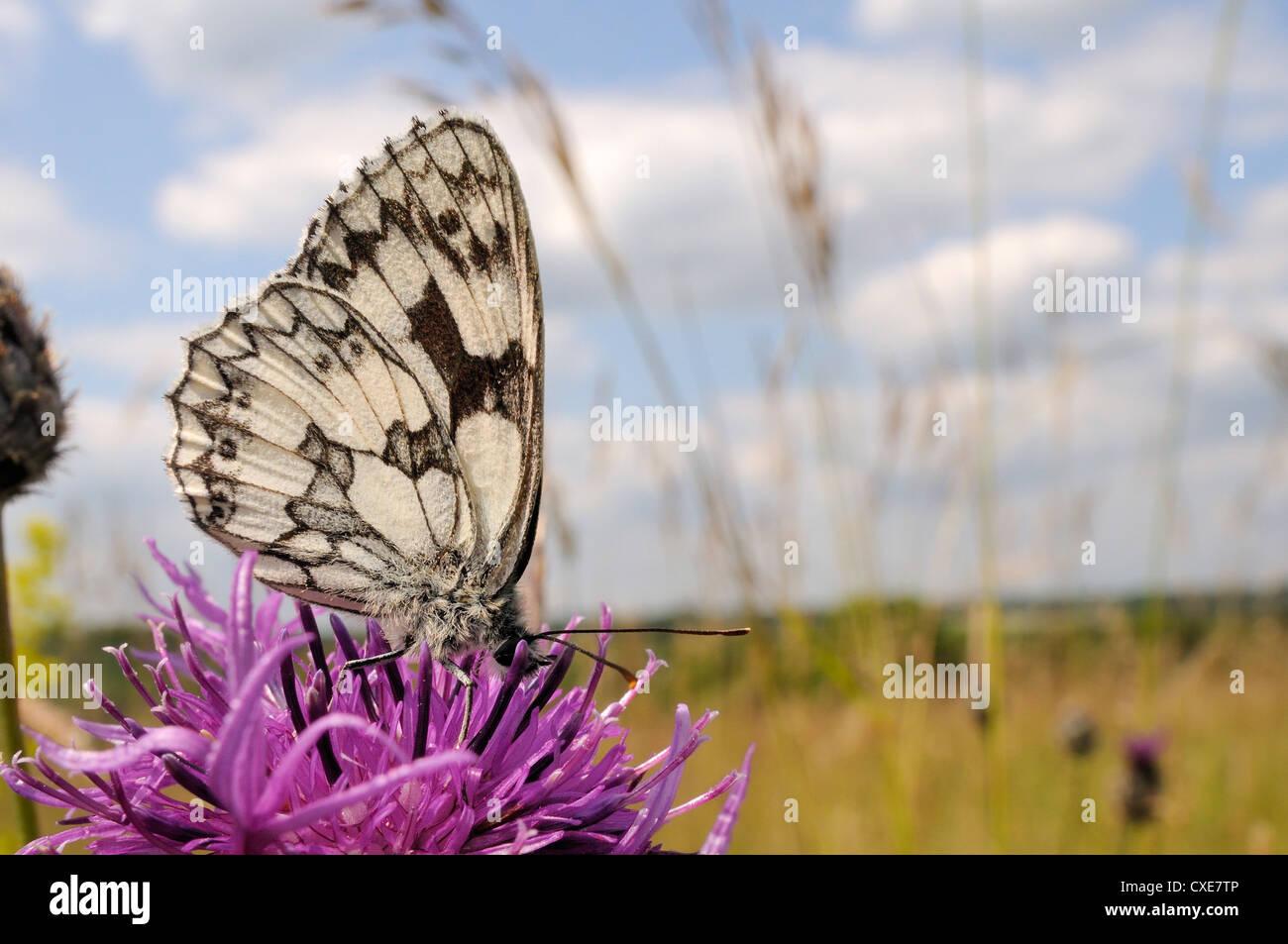 Marbled white butterfly (Melanargia galathea), feeding on Greater knapweed flower (Centaurea scabiosa), Wiltshire, - Stock Image