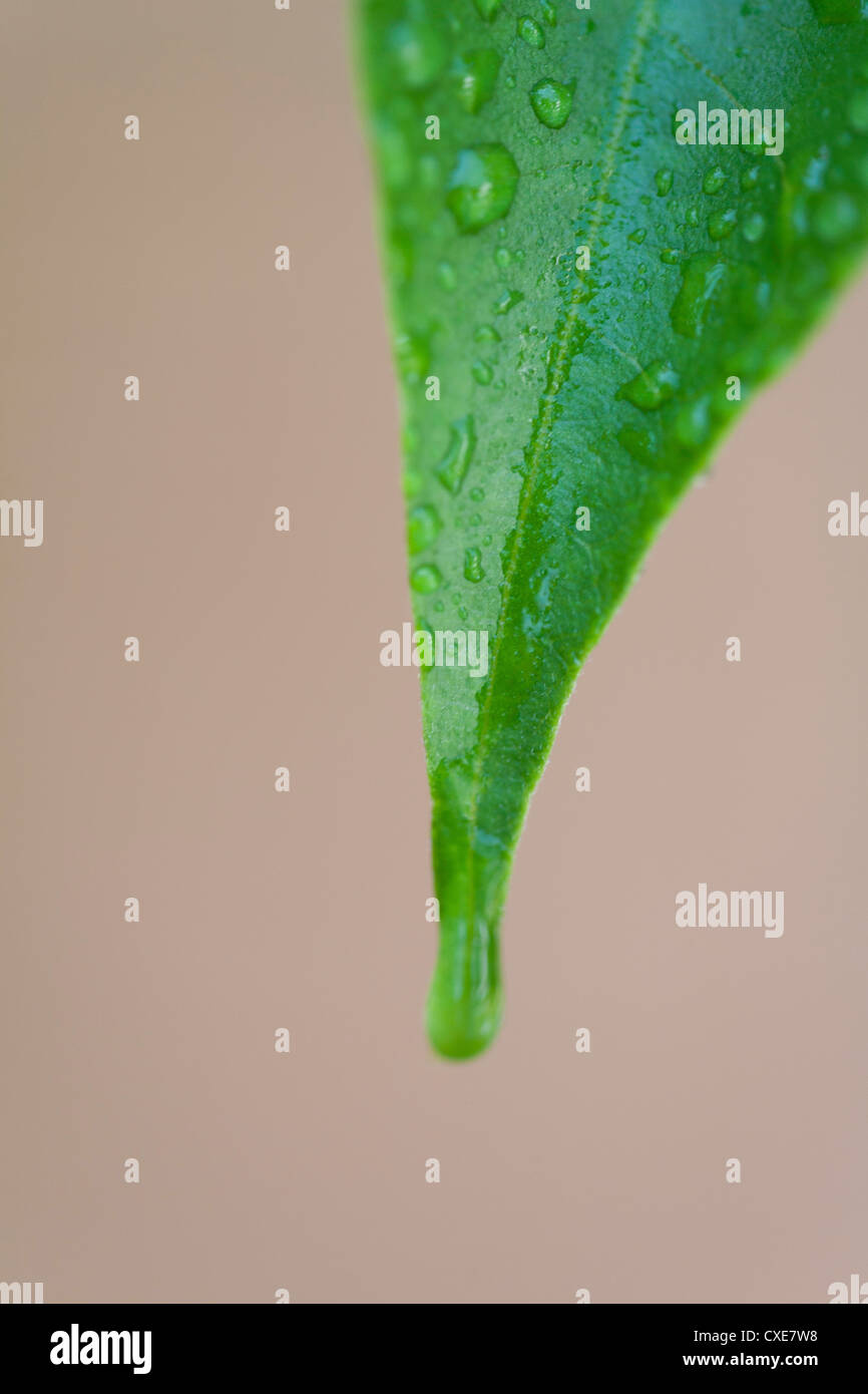 Leaf covered in water droplets - Stock Image