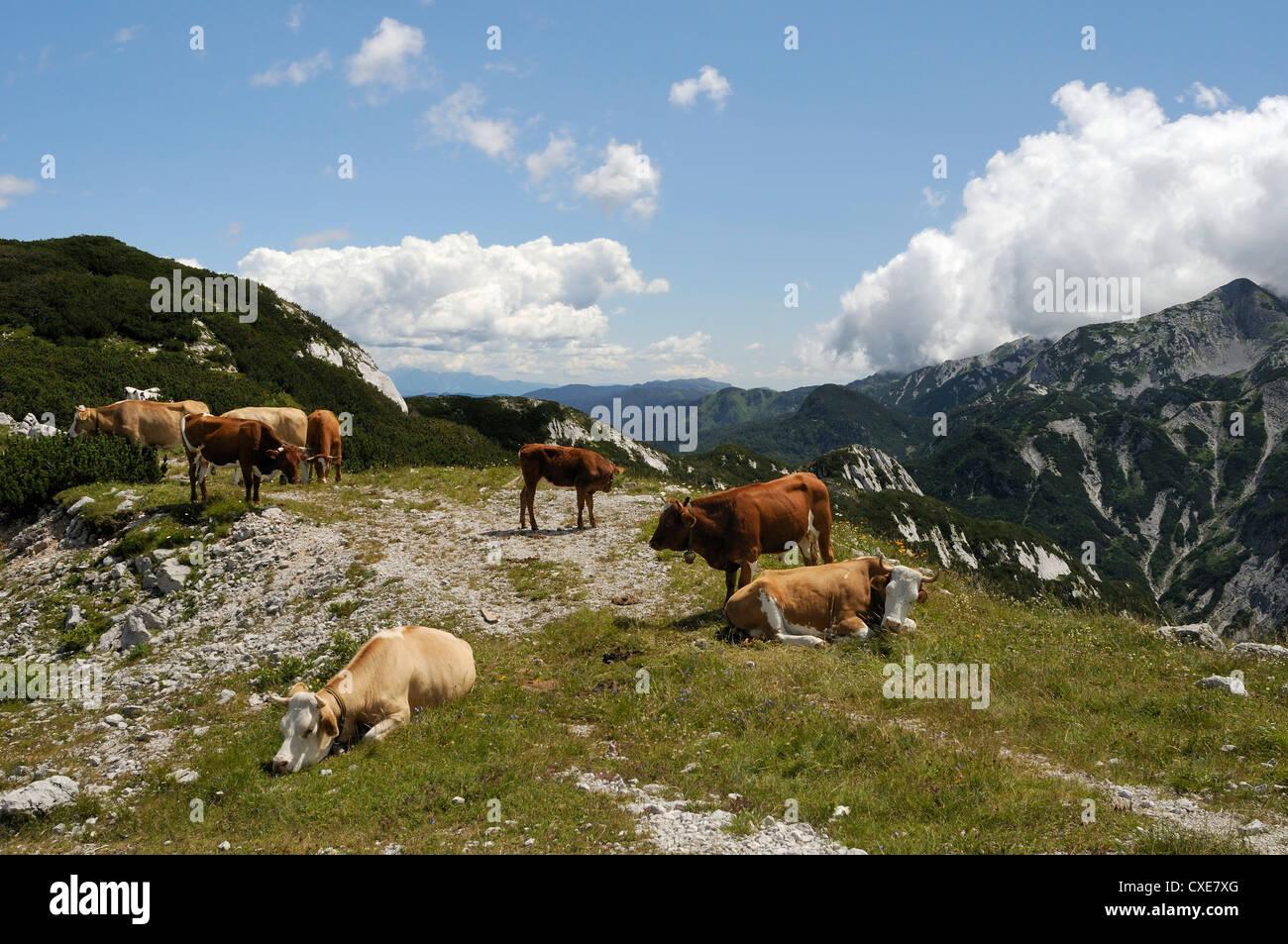 Small herd of Cows (Bos taurus) on alpine pastureland in the Julian Alps, Triglav National Park, slovenia, slovenianan - Stock Image