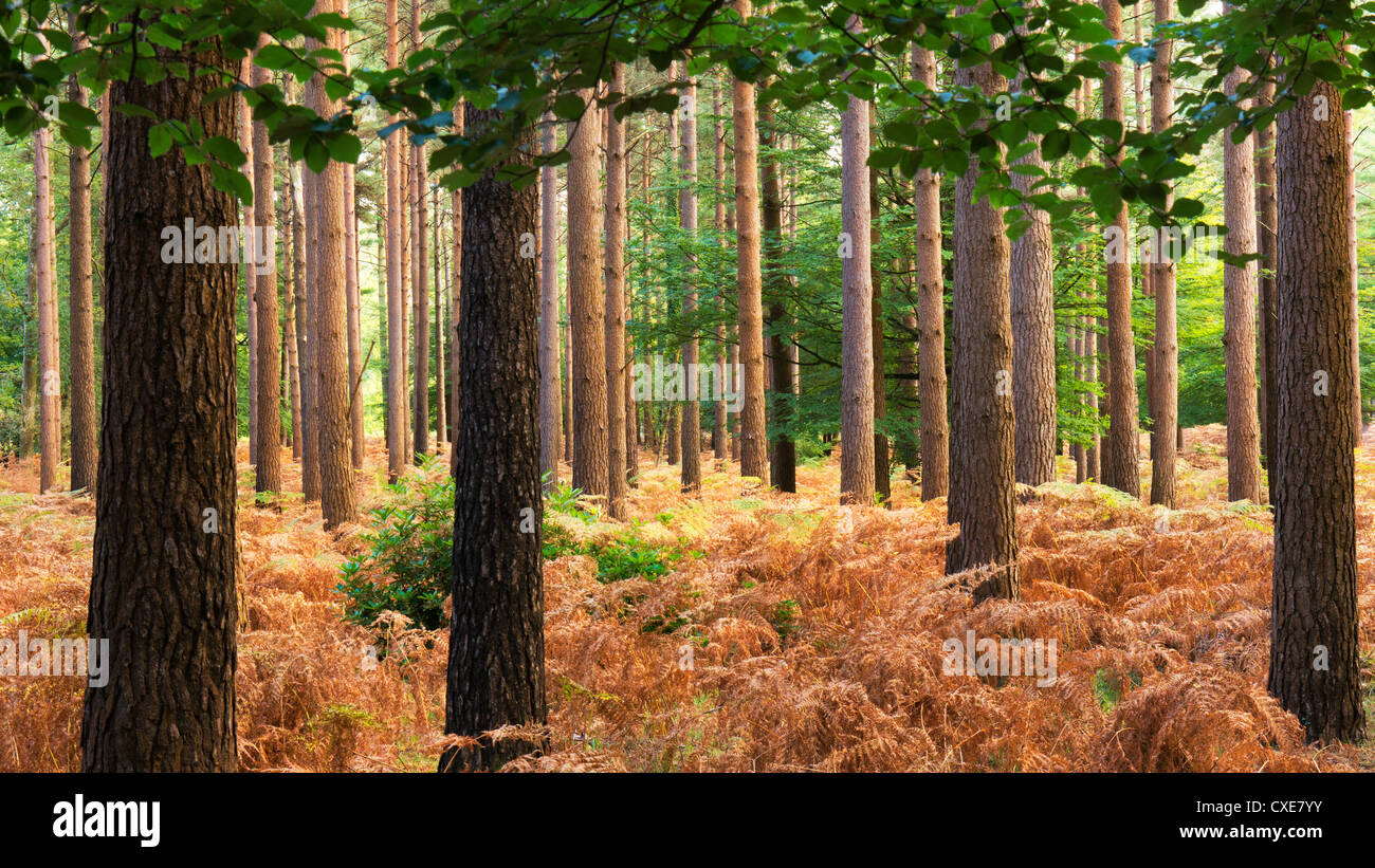 Interior of Pine Forest, New Forest, Hampshire, England, UK - Stock Image