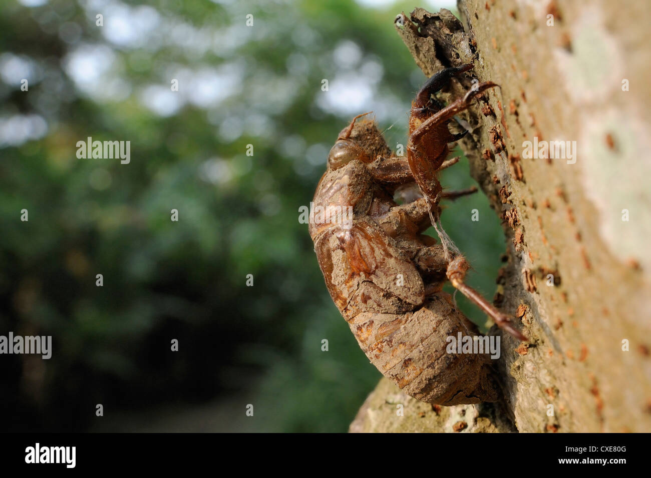 Taiwanese cicada (Cryptotympana takasagona) nymphal exuvium on tree trunk, Guandu, Taiwan - Stock Image