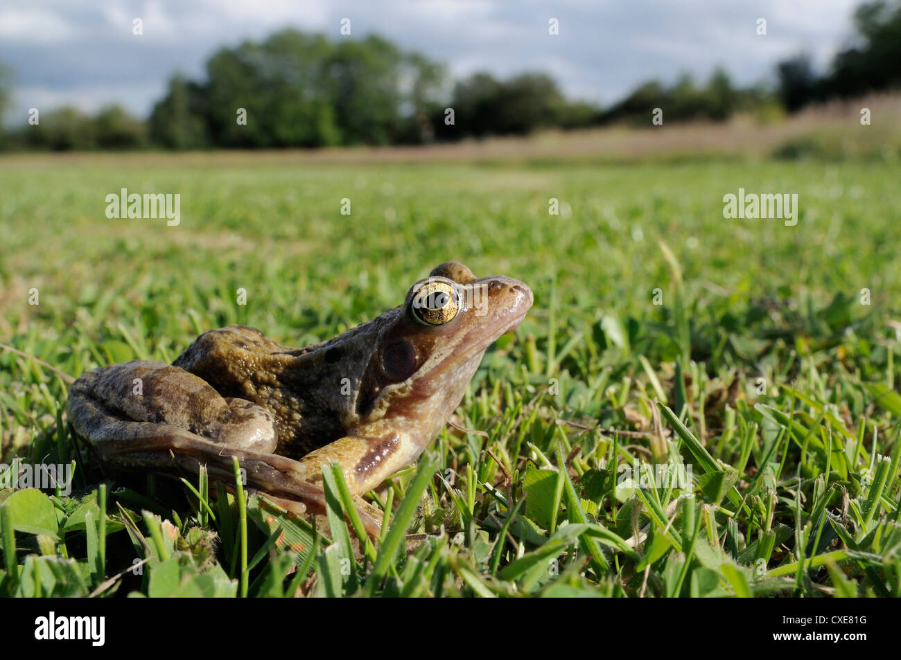 Common frog or grass frog (Rana temporaria) in damp meadow, Wiltshire, England - Stock Image